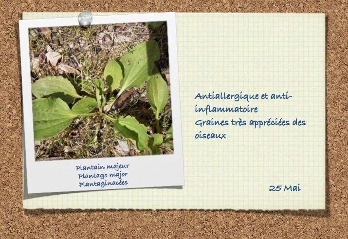 Plantaginacées (2 photos)