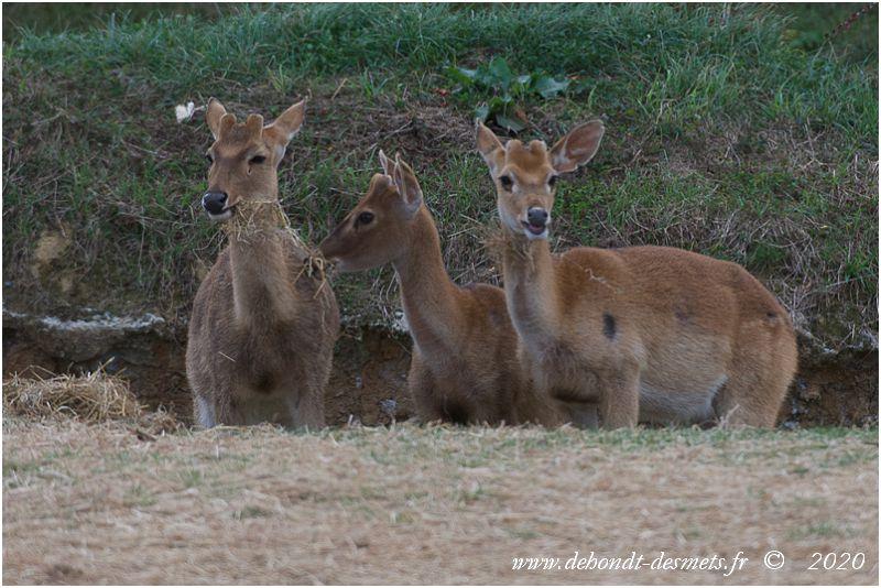 Le cerf d'Eld est un herbivore ruminant comme tous les cervidés.