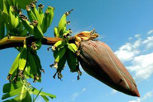 Le régime Banane {merci la lipase}