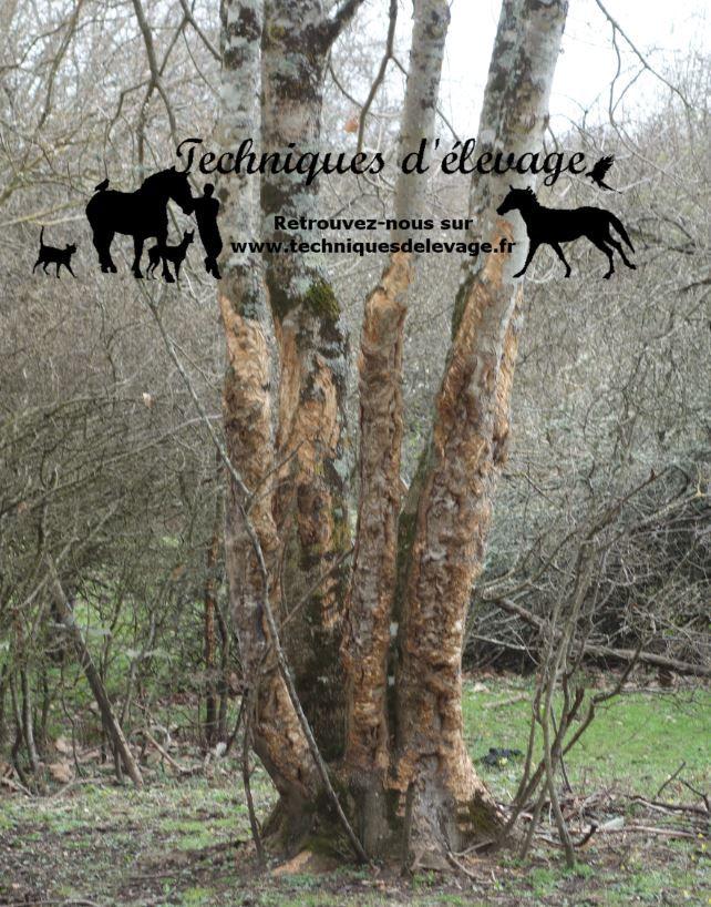 Arbres sans écorce suite à la consommation par un troupeau de chevaux et d'ânes. Tous droits réservés à Techniques d'élevage.