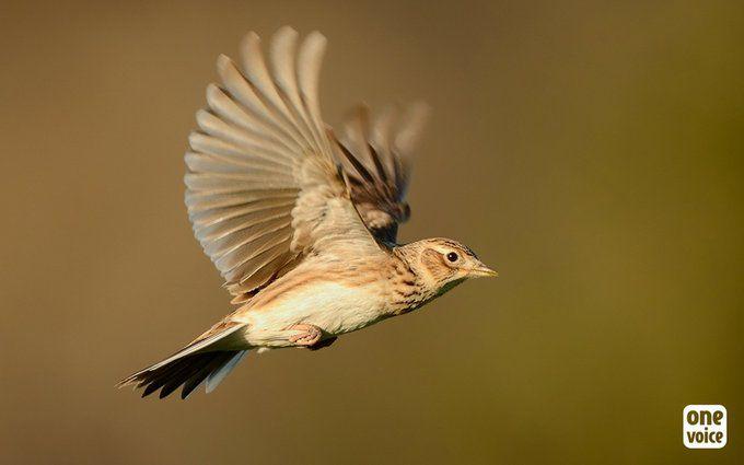 Historique ! Pantes, matoles, lacs et tenderies : les chasses traditionnelles aux petits oiseaux, c'est fini!