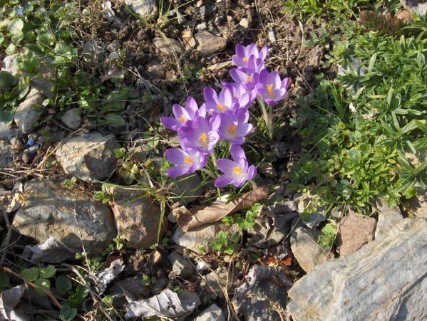Floraisons du premier printemps, à la sortie des grands froids, soit mi-février mars .