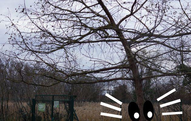 Reconnaissance des arbres en hiver 4