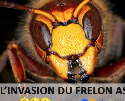 HALTE À L'INVASION DU FRELON ASIATIQUE…