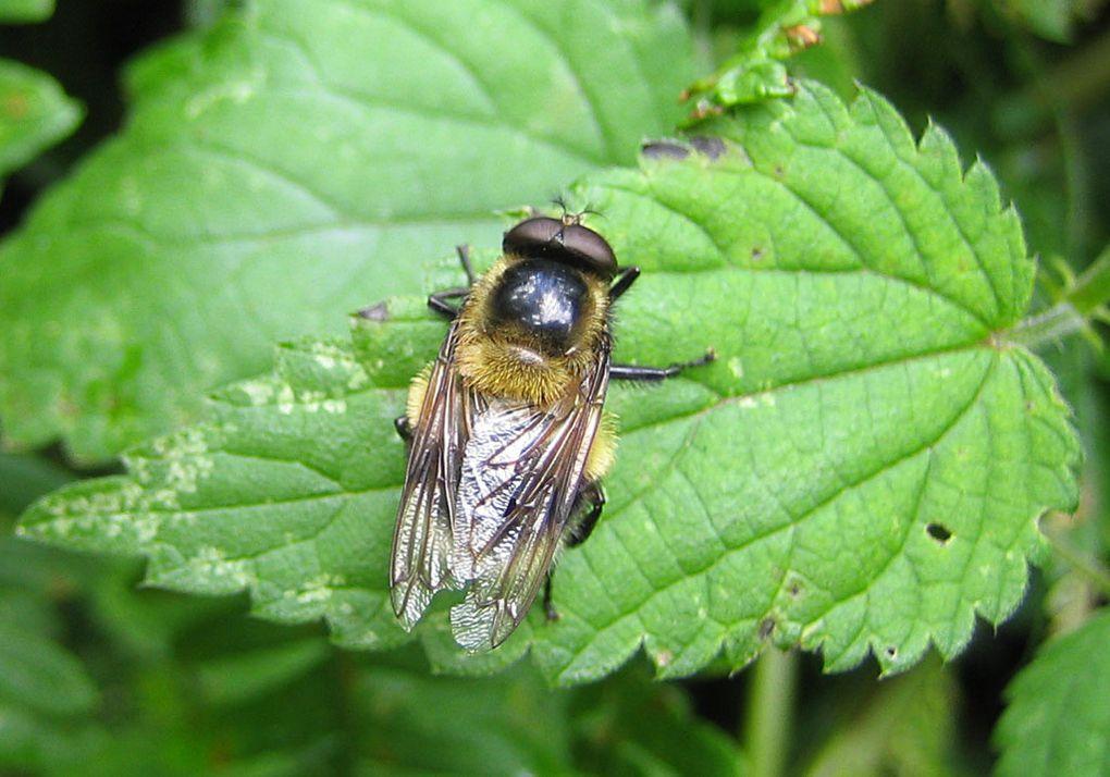 Album - Syrphidae--2-