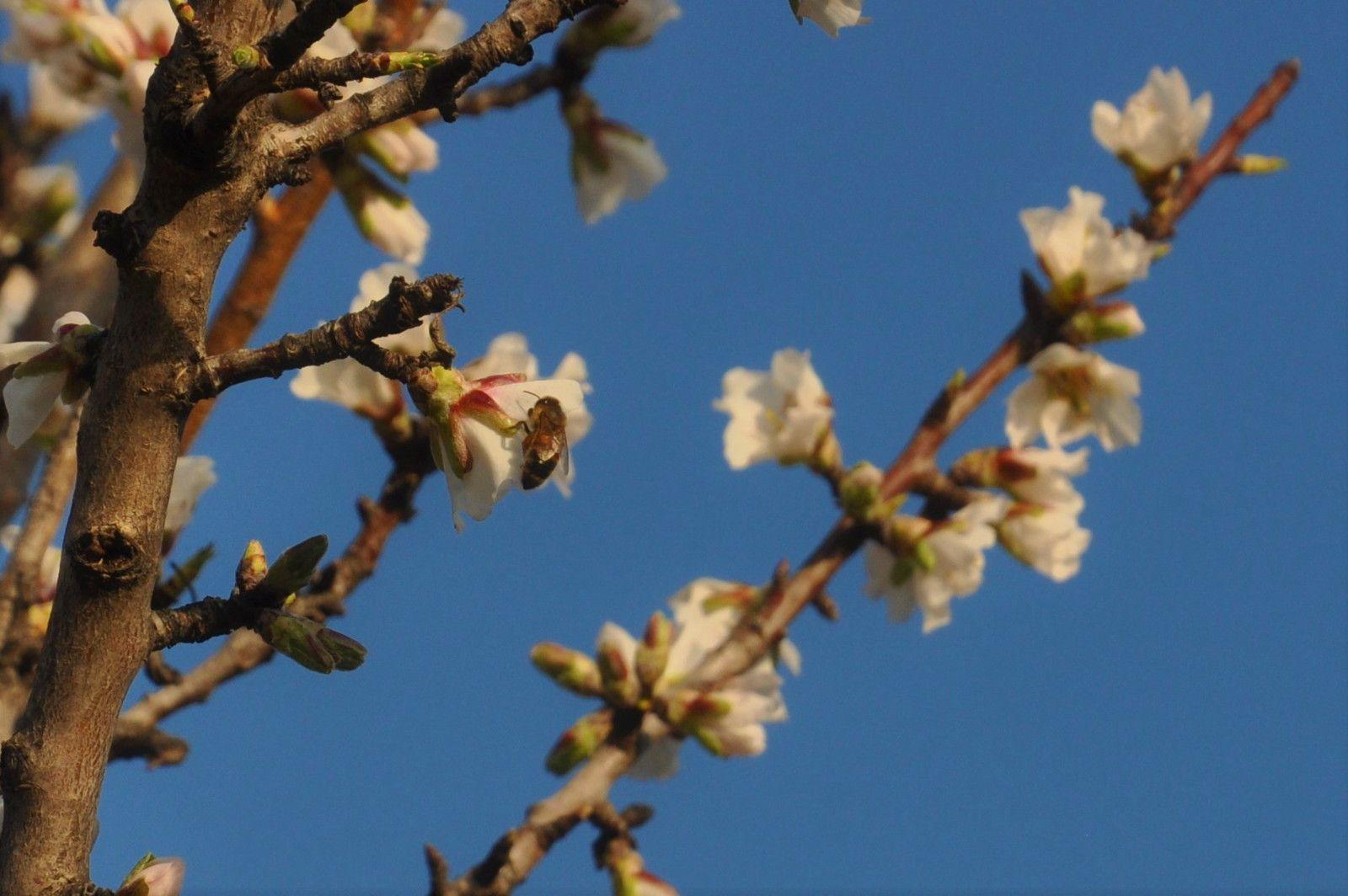 Et l'abeille, les photos ne sont pas facile avec le vent.
