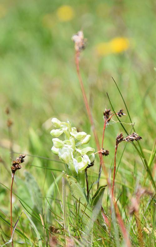 Le mois des orchidées sauvages