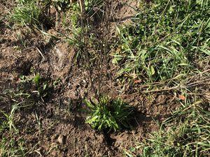 Chicorée (Cichorium intybus). Admirez cette racine. En dehors des rosettes de feuilles que l'on mange en salade, c'est la racine qui est utilisée en phytothérapie.