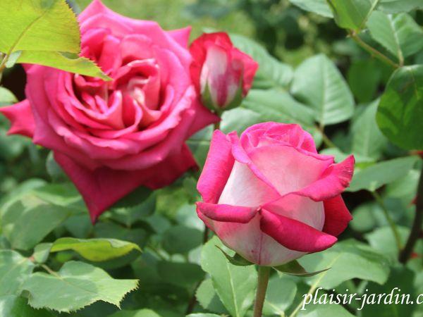 Les rosiers en Mo.