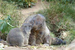 Tendres marmottes