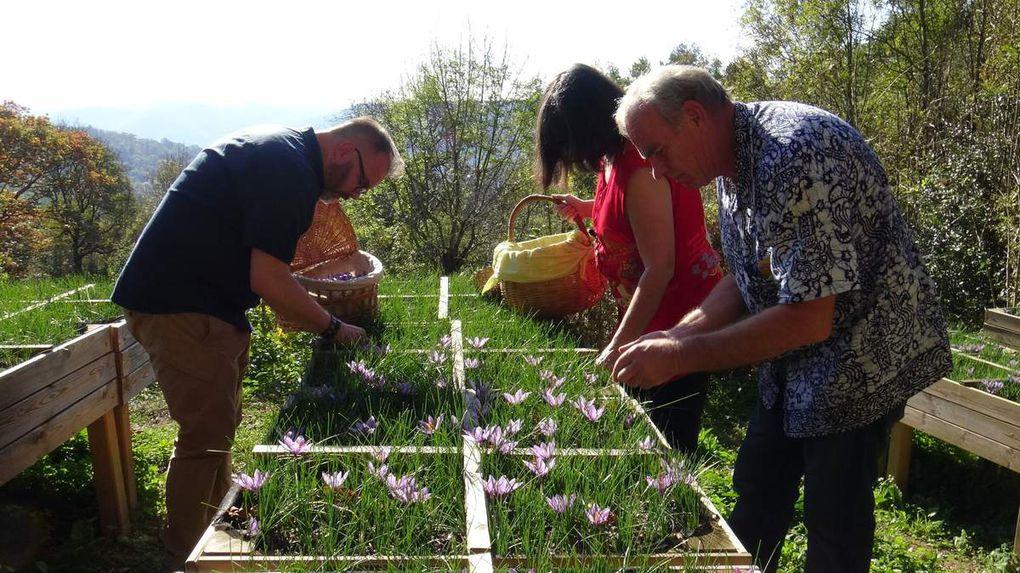 la cueillette se fait à la main et normalement à quatre pattes dans les champs...