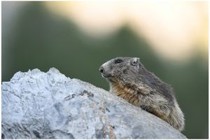 marmottes 3