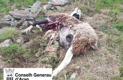 Pyrénées : un mouton et un agneau tués par l'ours Goiat à Bausen