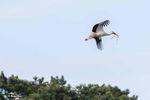 Cigogne en vol branchage au bec