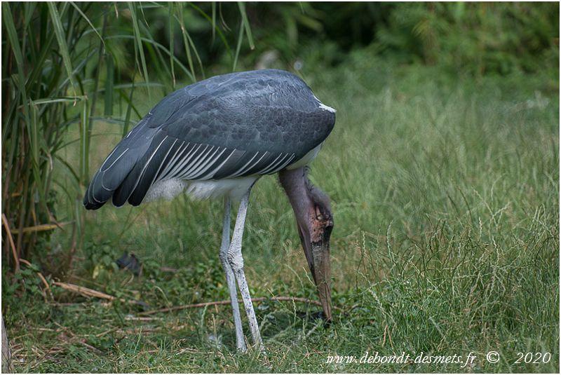 Parmi les nombreux oiseaux d'Afrique, le marabout est l'un des plus dépréciés. Doté d'un physique plutôt ingrat, il intrigue plus qu'il ne séduit.