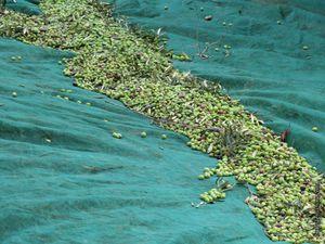 Les olives sont réunies et placées dans des palox avant de partir au moulin