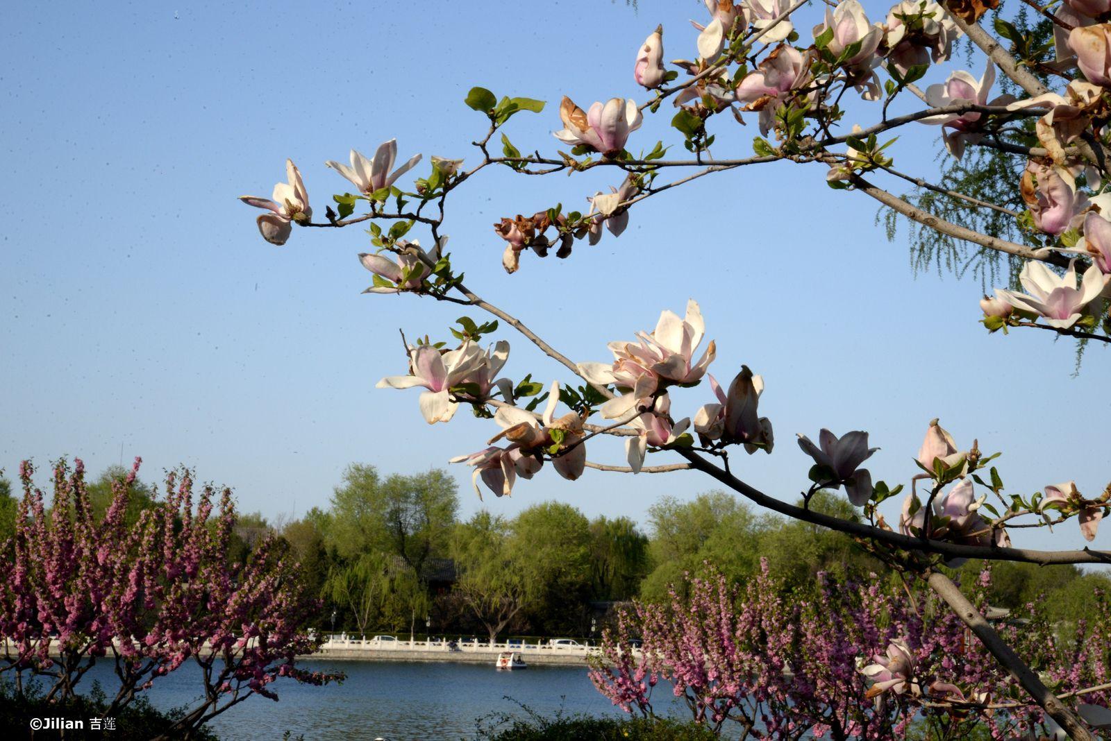 Beijing en fleurs - 北京花开了