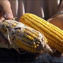 Bénéfices inattendus : le maïs Bt réduit aussi le recours aux pesticides dans les cultures légumières voisines