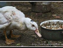 Le canard ...