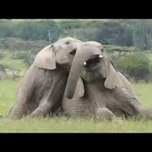 Elephant's play behavior - video compilation narrated by Joyce Poole