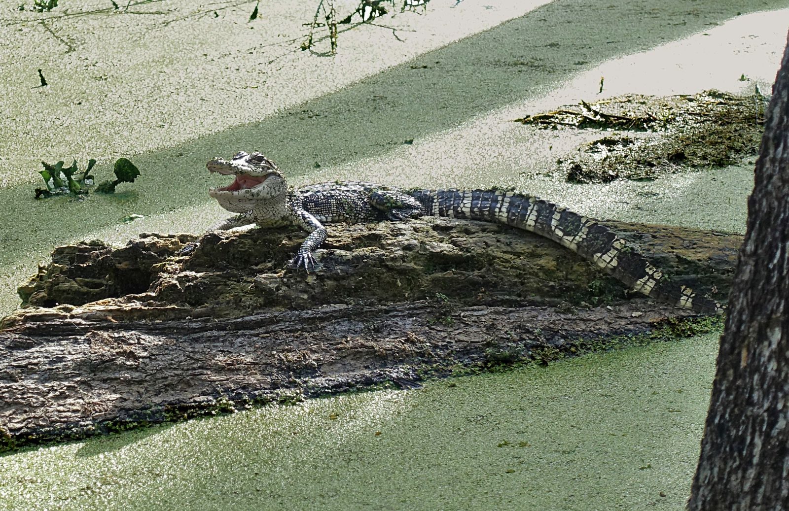 Lake St Martin alligator