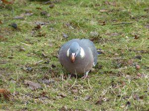 Pigeon ramier - Columba palumbus.