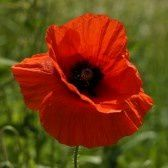 gentil coquelicot Mesdames; nice little red poppy