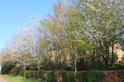 Le temps des merisiers en fleurs