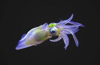 Cómo engañan los calamares a sus depredadores