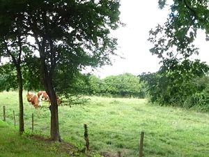 Saulges, le lavoir à gauche, avec le champ de blé à sa gauche, les vaches à droite, Cl. Elisabeth Poulain