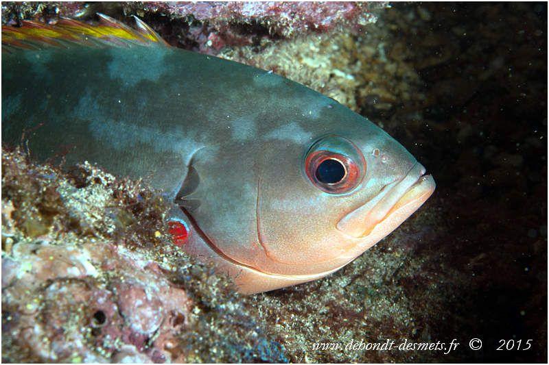 Le poisson créole du Pacifique est de couleur variable ( brun rougeâtre,violet, vert olive) mais la base rouge des nageoires pectorales est une constance retrouvée chez tous les spécimens)