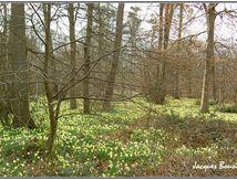 Tapis de jonquilles en forêt d'Halatte