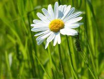 Marguerite commune - Leucanthemum vulgare -