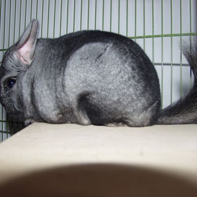 Adopter des chinchillas