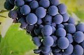 #Red Cardinal Wine Producers Indiana Vineyards