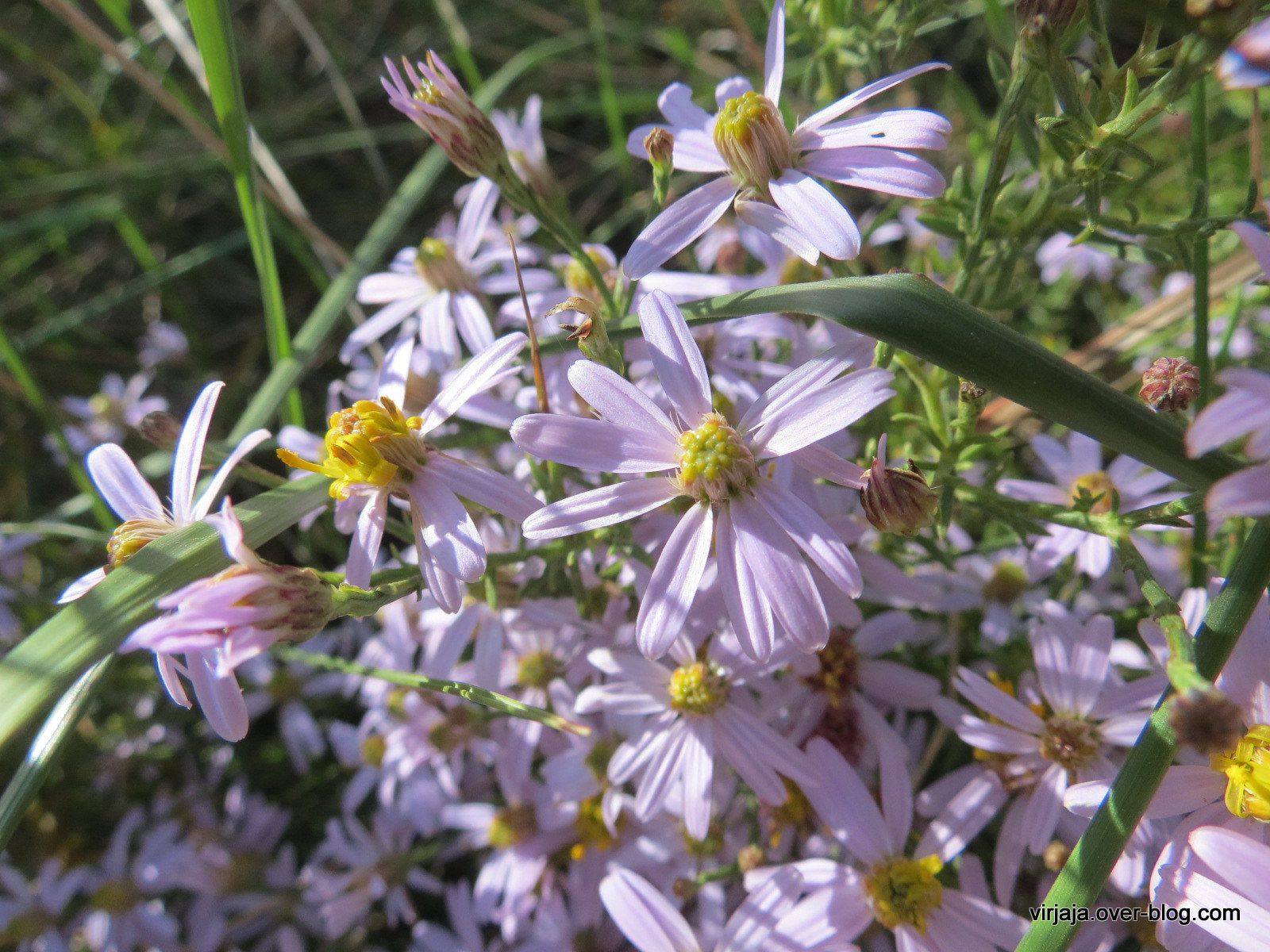 ASTERS SAUVAGES
