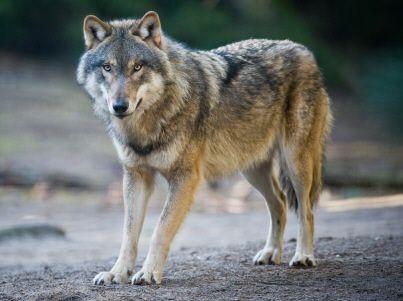 ENVIRONNEMENT Le gouvernement doit garantir la «coexistence» entre loups et éleveurs