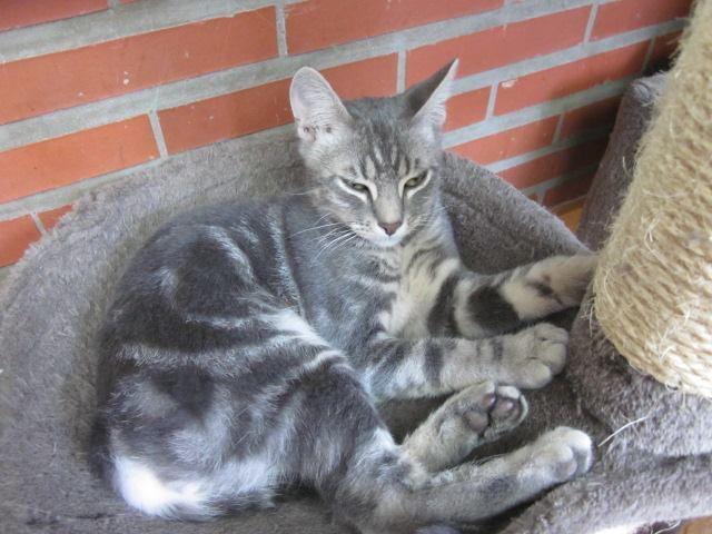 Il est adopté !!! : JEREMY,  chat marble silver mâle né en 2015