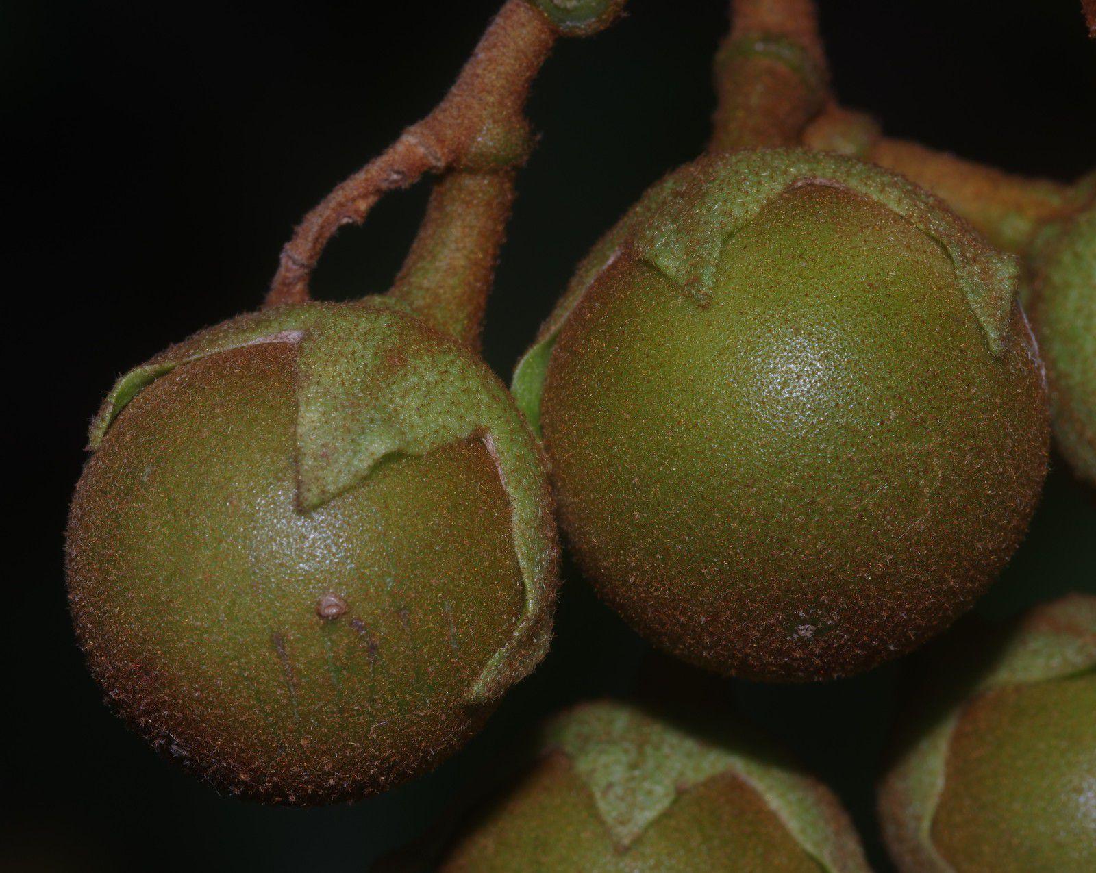 Solanum rubiginosum