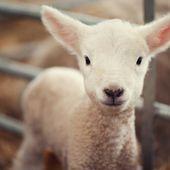 La justice ouvre une enquête après la commercialisation de la viande d'un agneau OGM issu de la recherche