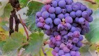 #Red Chianti Producers Michigan Vineyards