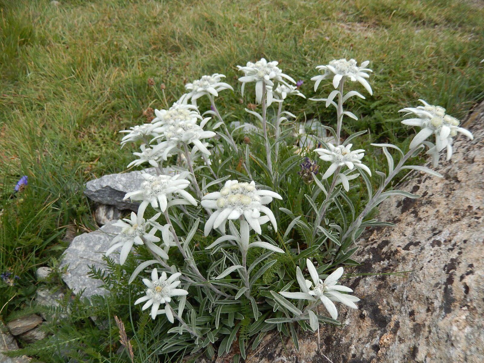 Plus bas, plus tard...des edelweiss misesen valeur mais protégées par une main respectueuse