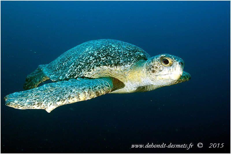 La tortue noire est semblable à la Tortue verte (certains considèrent qu'elle est une sous-espèce de la tortue verte), mais elle est plus petite et sa carapace est beaucoup plus foncée.