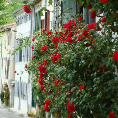 Chalabre : rosiers