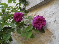 Rosiers 'La Grifferaie', 'Queen Elisabeth', 'Rose de Rescht' et 3 inconnus (boutures des roses de ma grand-mère)