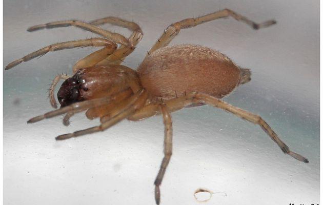 Araignée : Clubionidae
