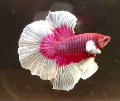 Betta rose butterfly ( video )
