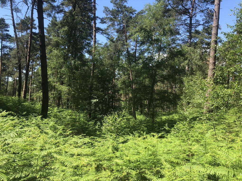 Randonnée «Post-confinement » dans la forêt d'Ermenonville, 15 km.