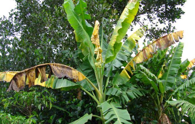 Une maladie bactérienne affecte des plantations de bananes