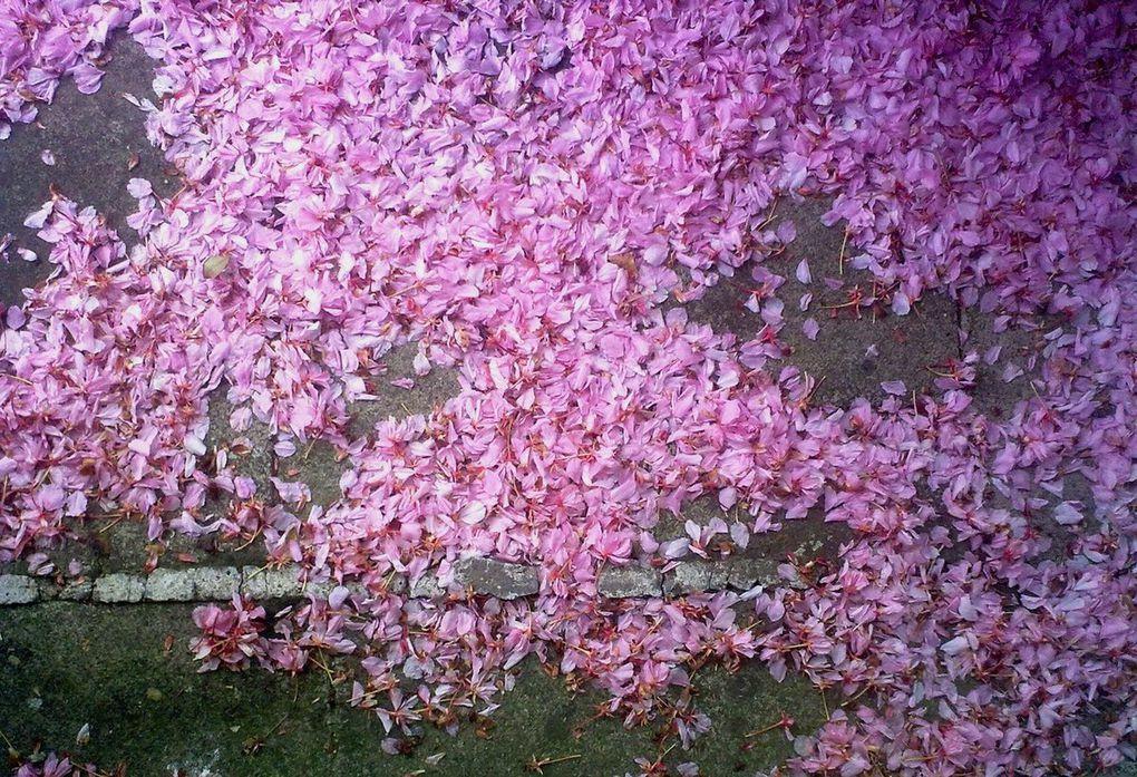 Pétales de cerisiers du Japon, matin d'avril Schaerbeek